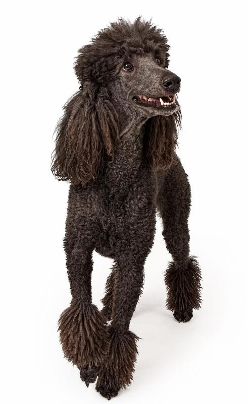 Poodles are often used in crossbreeding.