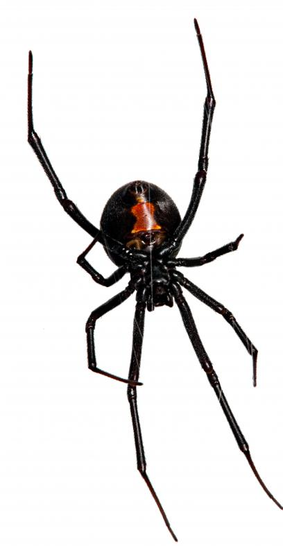 Arachnophobia, a fear of spiders, is justified when dealing with the poisonous Black Widow.