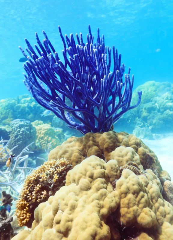 Beautiful blue coral underwater.