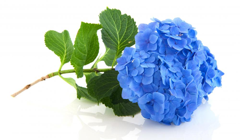 where should i cut hydrangea blooms off of the plant?, Beautiful flower