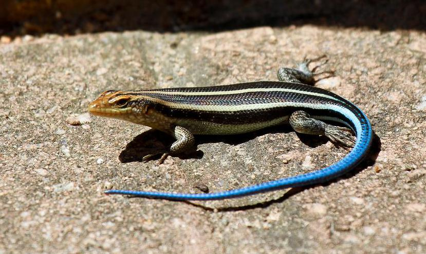 Though the tail of the blue-tailed skink is indeed blue, its body is black with yellow stripes.