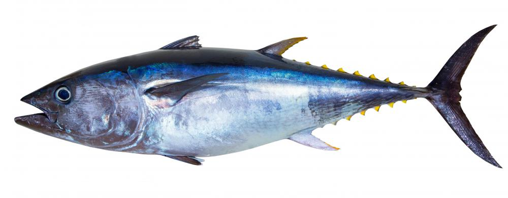 Vessel monitoring systems in some regions of the world keep track of tuna populations.