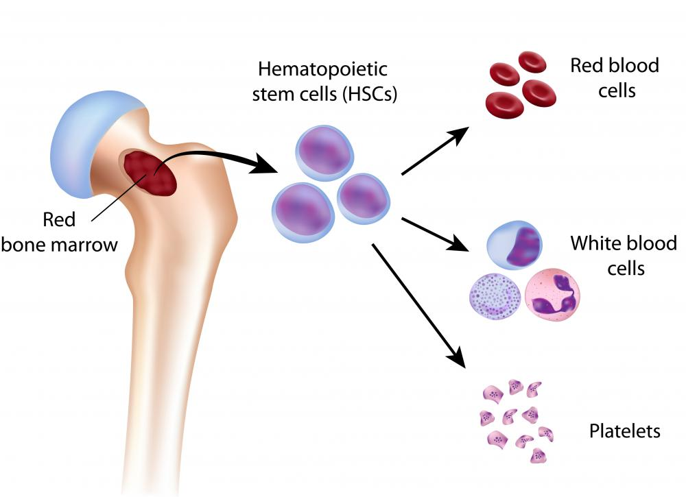 Almost all blood cells and platelets are created by red bone marrow.