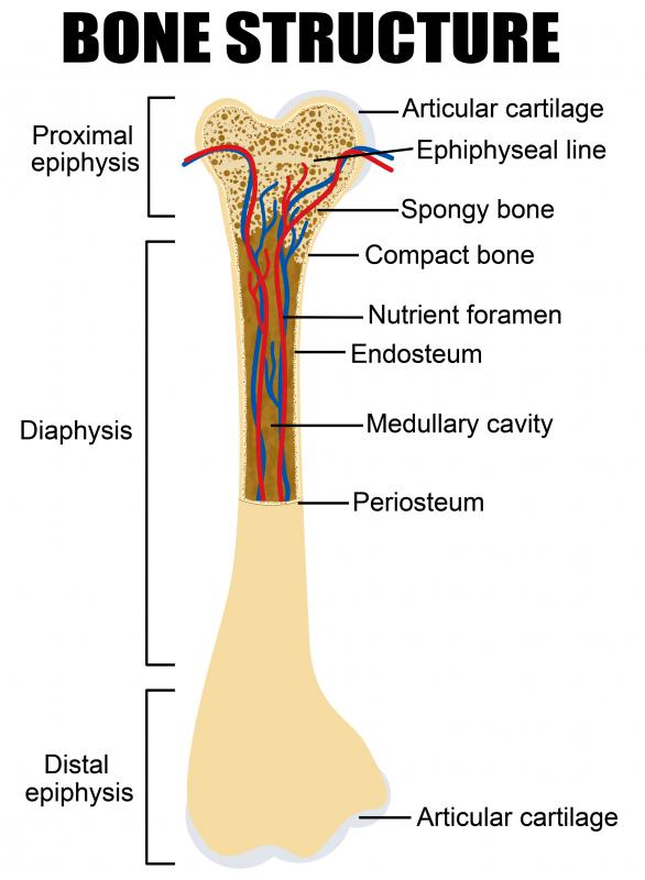 Articular cartilage is found between the bones that comprise a joint.