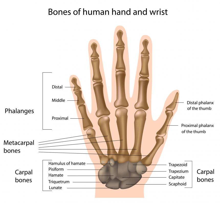Eight carpal bones make up the wrist.
