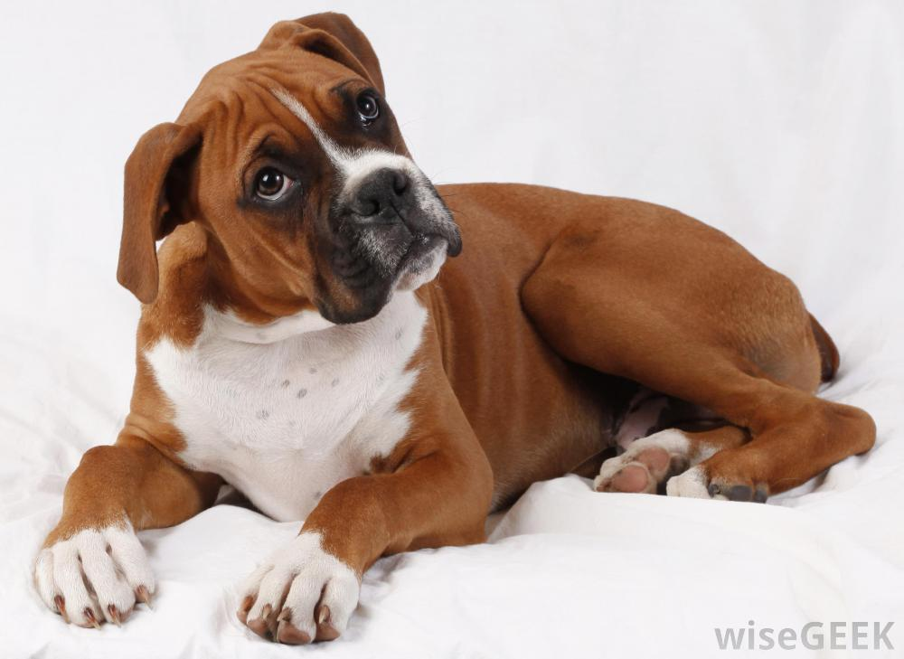 White And Brown Boxer Dogs