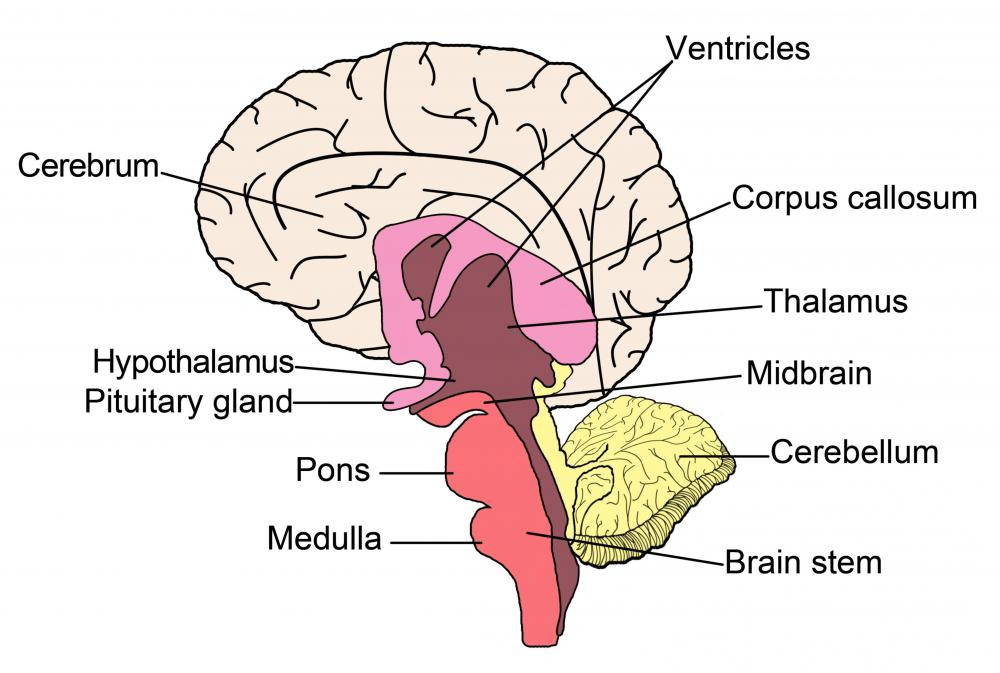 what is the right cerebellum? (with pictures), Cephalic Vein
