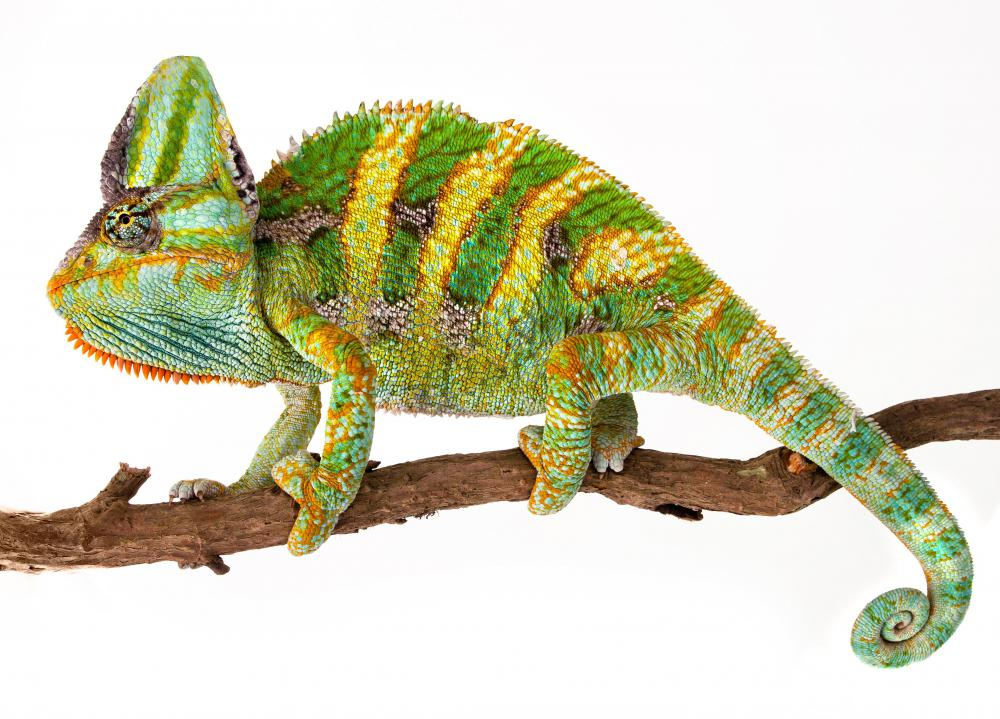 The most famous cryptic animals include the chameleon.