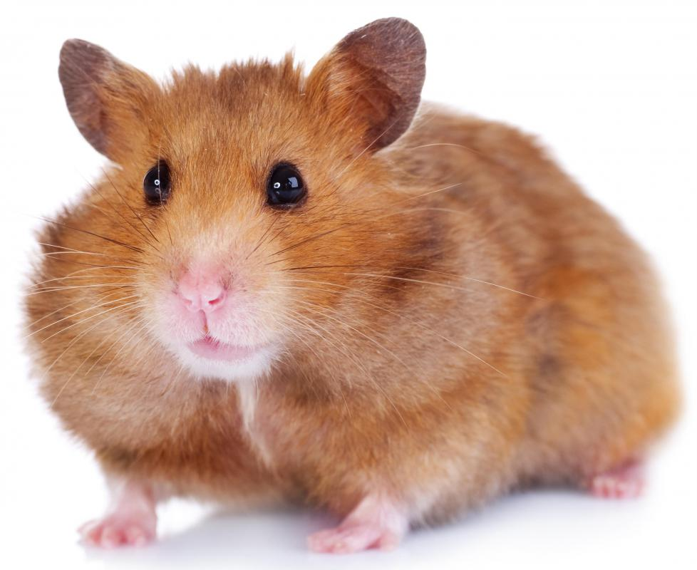 Hamsters typically only live a few years, so parents will likely need to help a child through the pet's death when the time comes.