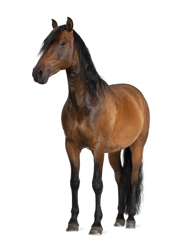 A bay horse has a reddish brown coat.