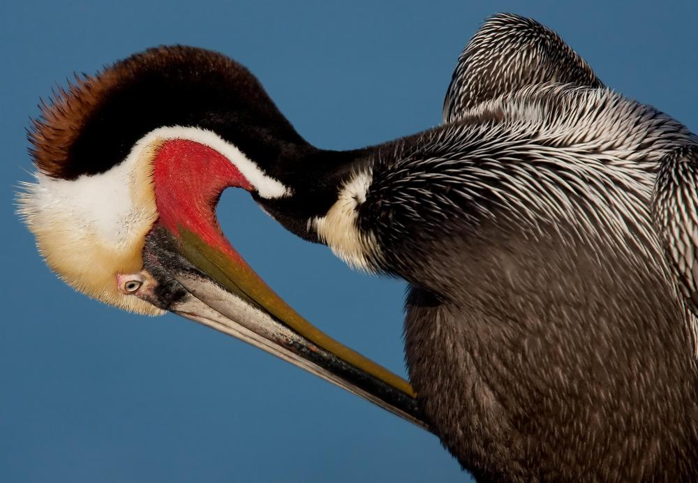 Aquatic birds such as pelicans are common predators of sardines.