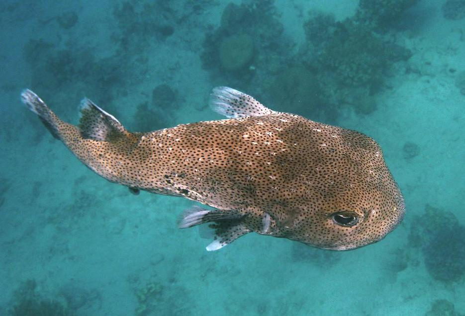 There are about 150 species of pufferfish, many of which are poisonous to eat.