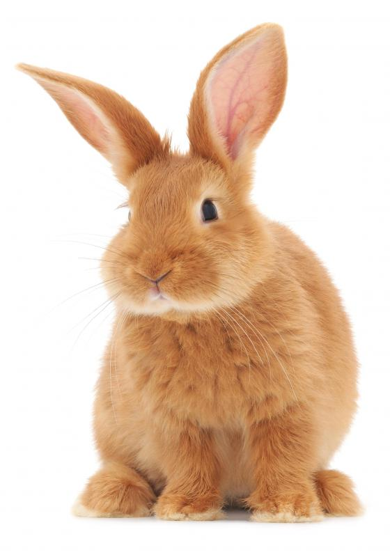 Rabbits can be microchipped.