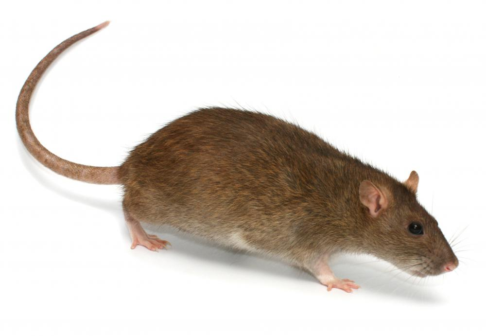 Brown rats are a common rodent pest.