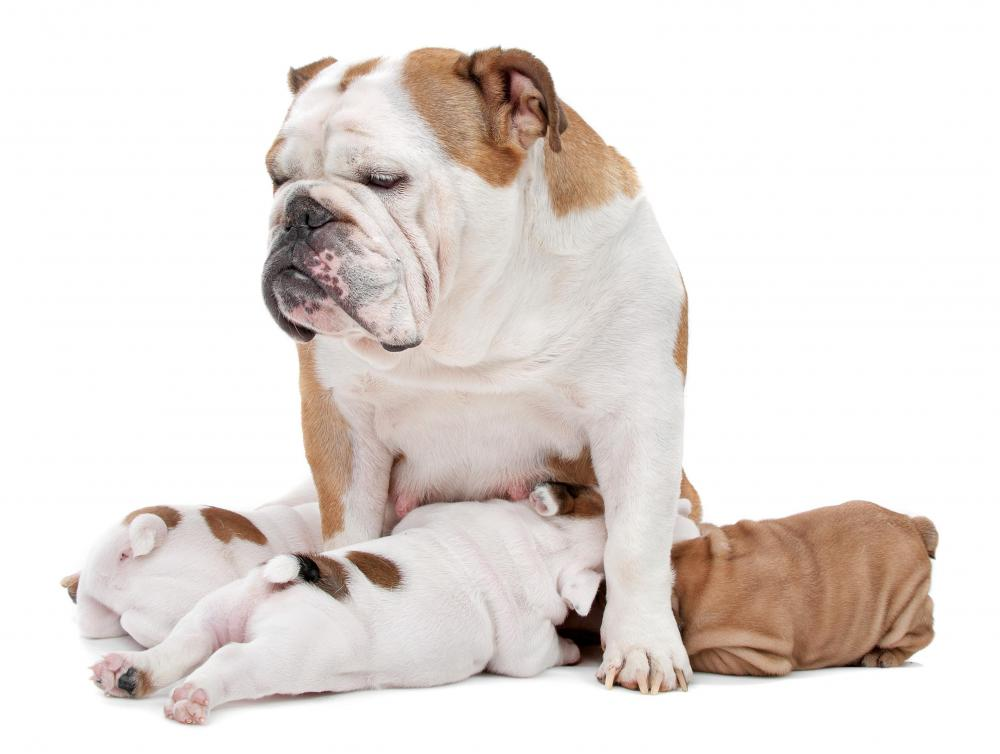 Bulldogs may greatly benefit from a leash and harness.