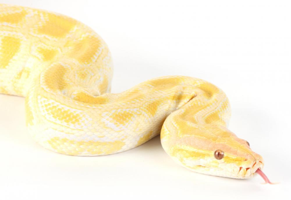Common types of albino snakes include Burmese pythons.
