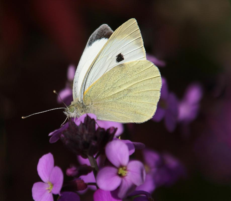Butterflies play a role -- though less significant than that of bees -- in pollinating flowers.