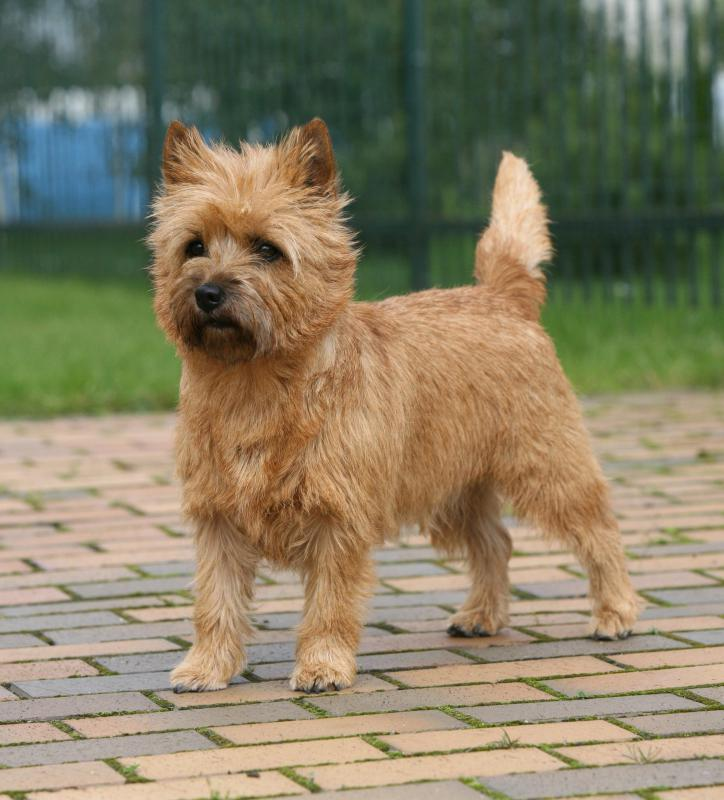 "Anyone who has seen ""The Wizard of Oz"" might identify Cairn Terriers with Toto."