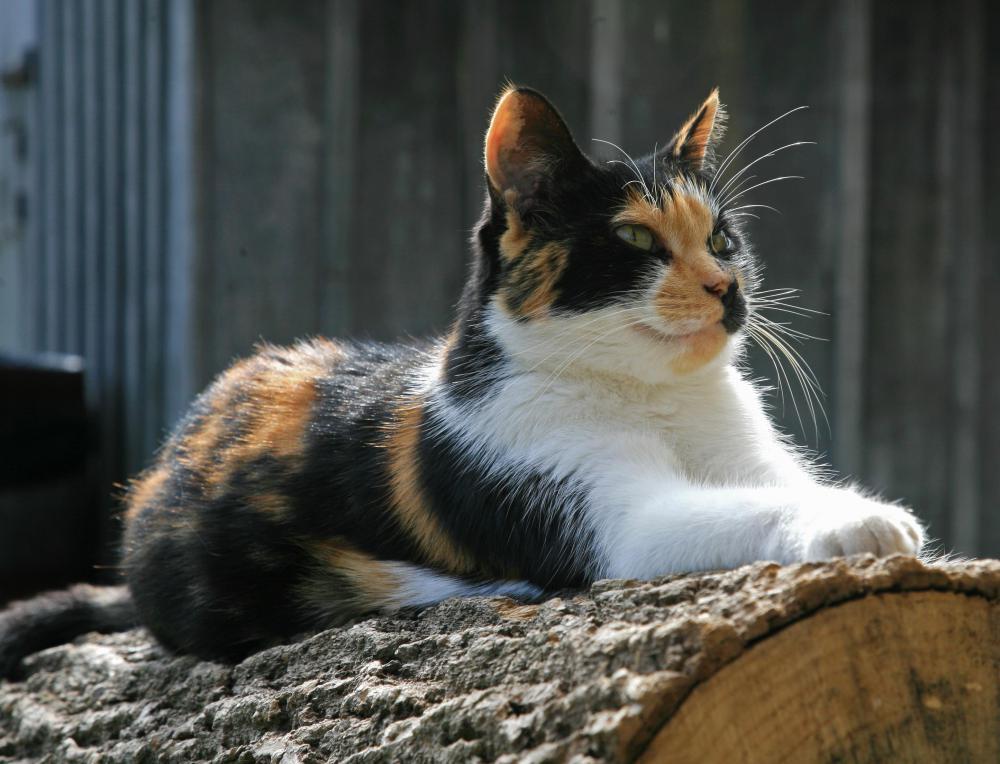 Tortoiseshell Kitten Outside What is a Calico Cat