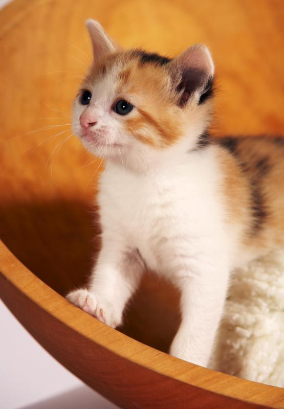 Calico kitten in a bowl.