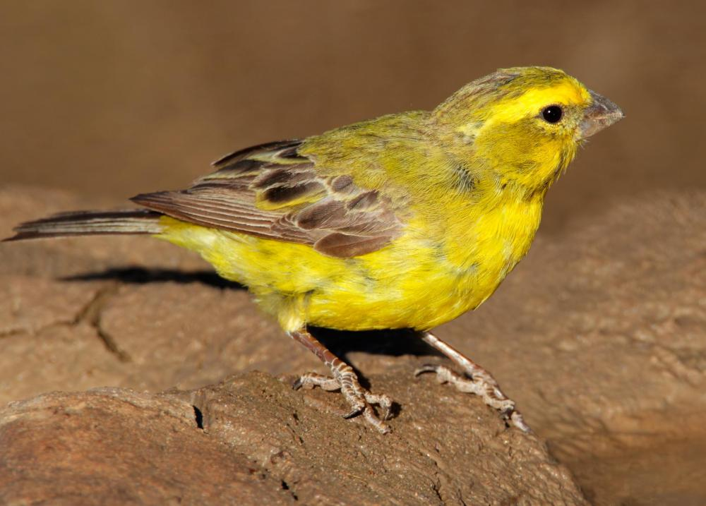 A Canary is a member of the Finch family.
