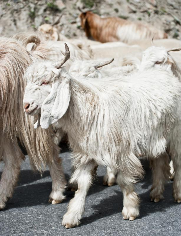Kashmir goats from China, Tibet, and Mongolia are known for their fine, thick wool.