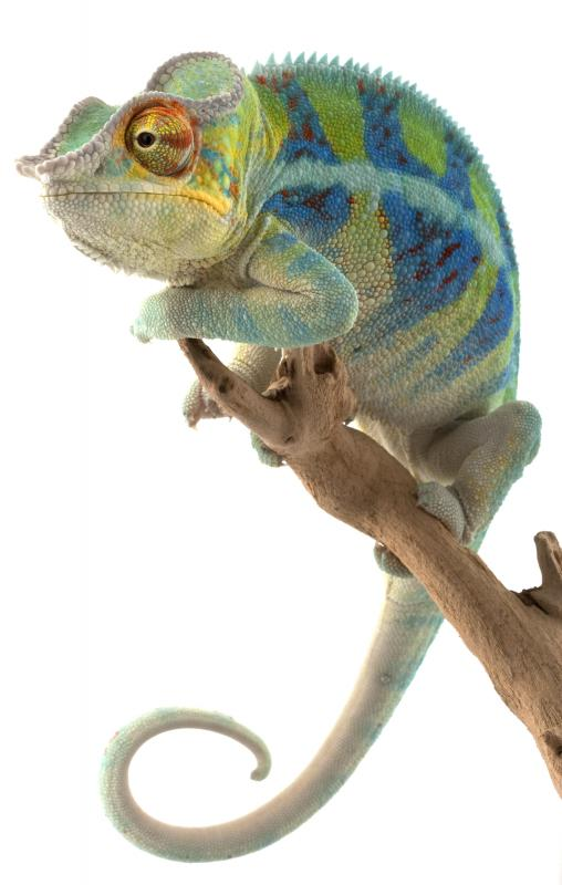 Chameleons commonly eat insects and spiders.