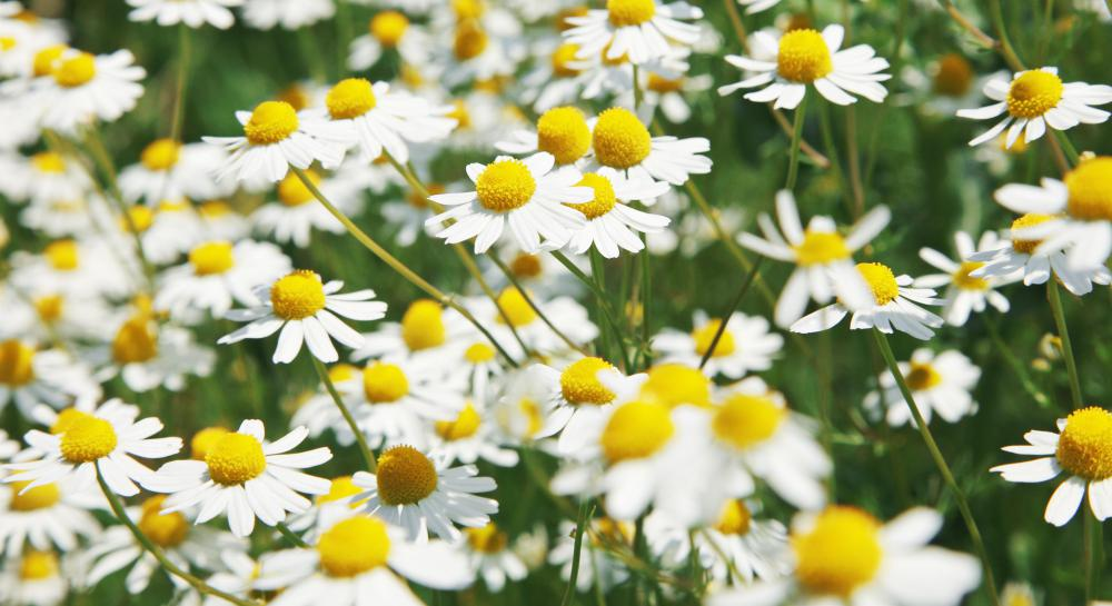 Oxeye daisies have been used for herbal medicine.