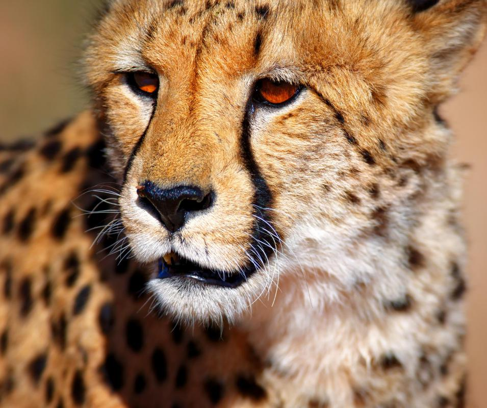 The Madikwe Game Reserve contains cheetahs.