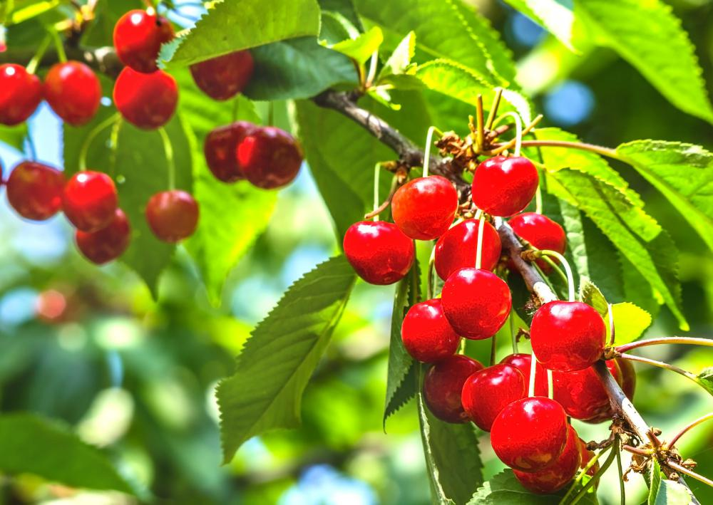 Barbados cherry trees are known for their bright red fruit.