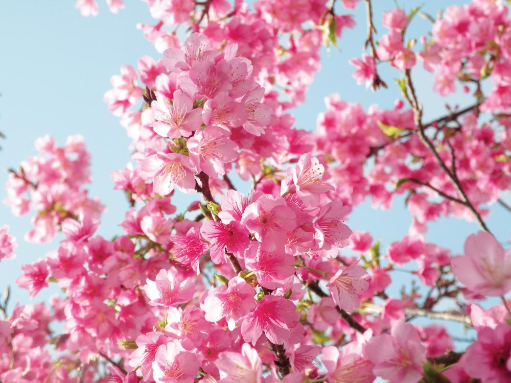 Cherry blossoms are popular Oriental motif themes for decor.