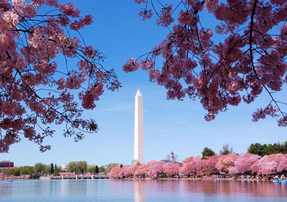 Washington, D.C. has a world famous festival around the time that cherry blossoms bloom.