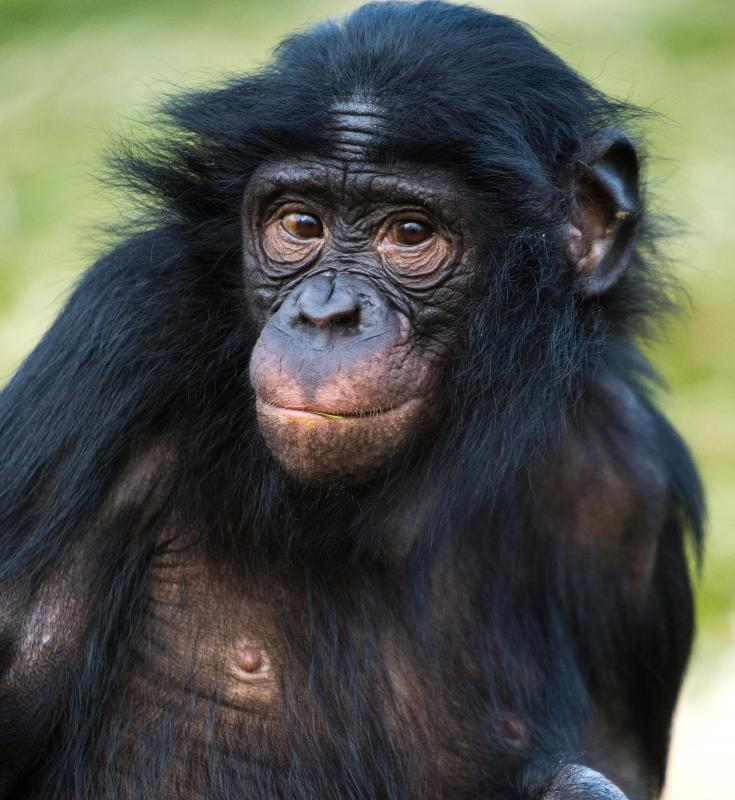Chimpanzees can be found in the Congo Rainforest.