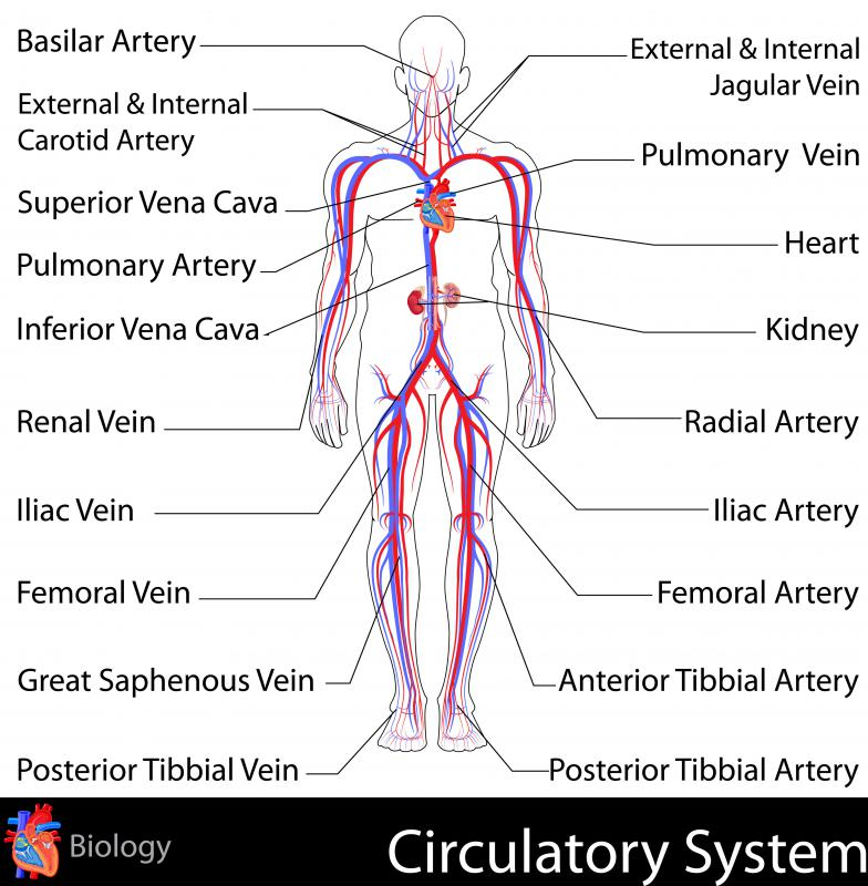 One way doctors measure ventricular systole is by palpating the radial artery at the wrist.