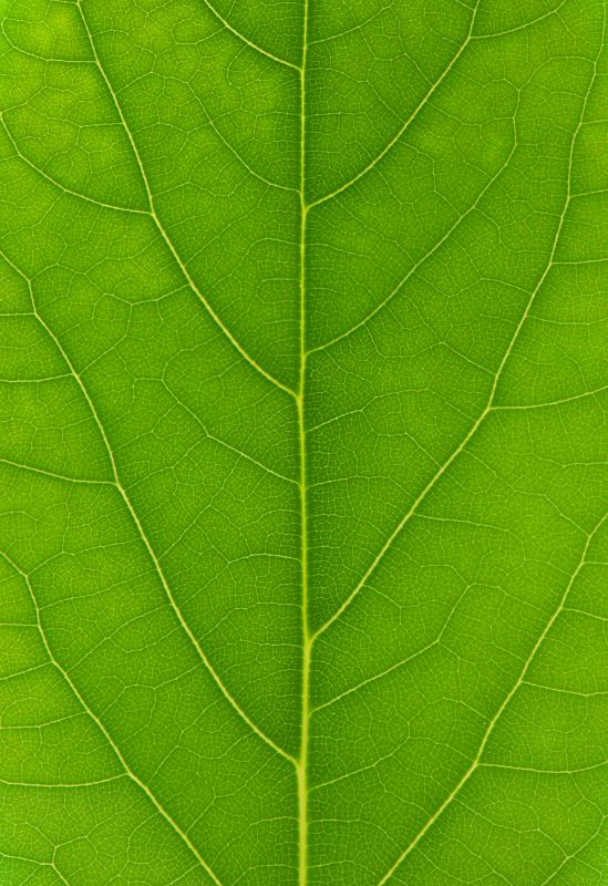 Leaves are green because of chlorophyll.
