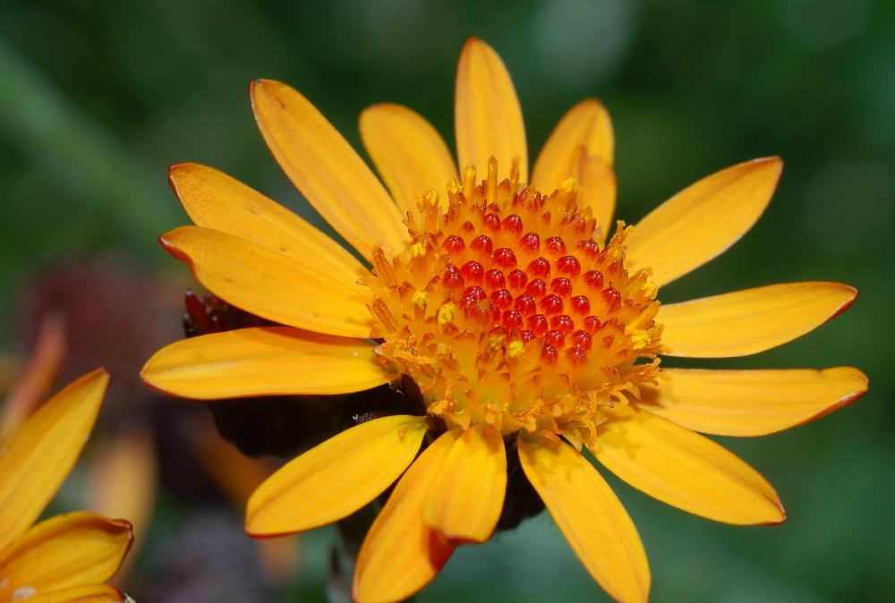 Arnica is used to treat several conditions, including sore muscles.