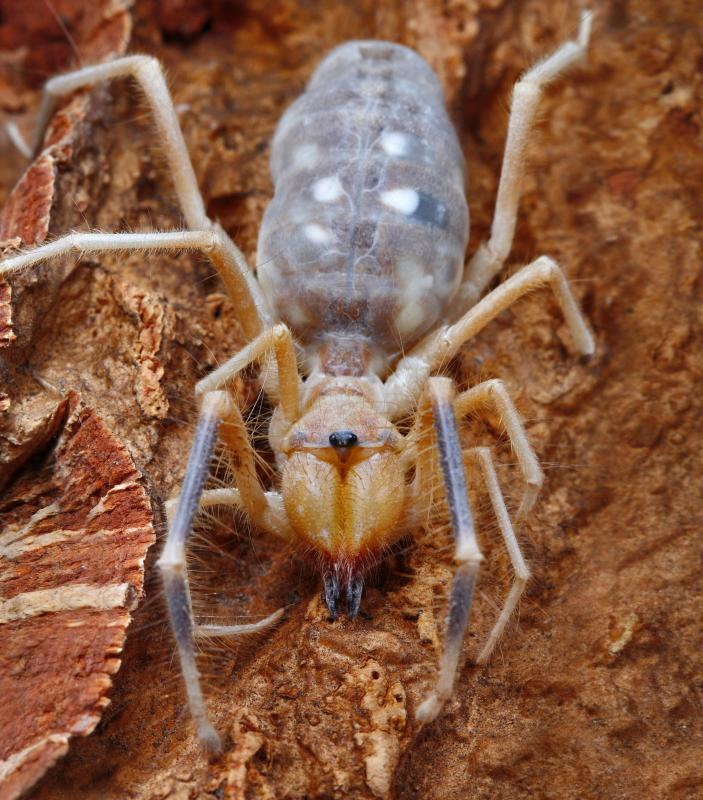Camel spider bites - photo#22