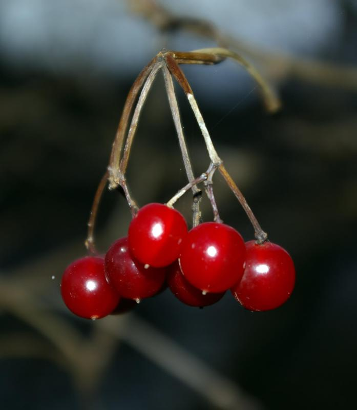 The Chokecherry tree produces edible fruit.