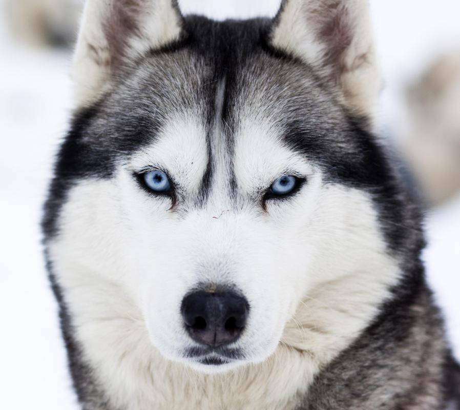A husky would not fit well in an apartment, as they require a lot of space and exercise.