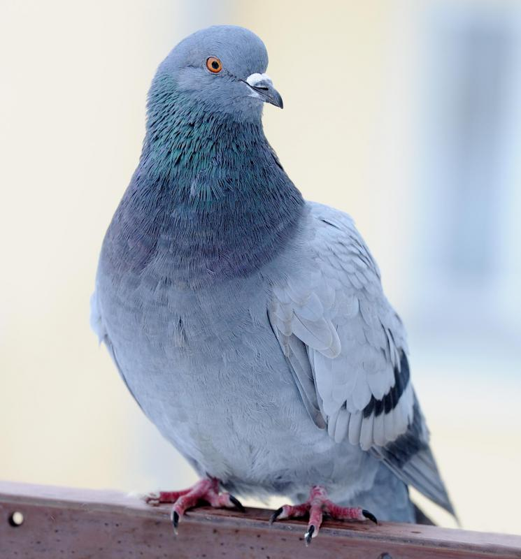 Pigeonholes can keep track of pigeon populations, as they tend to adopt a particular nest.
