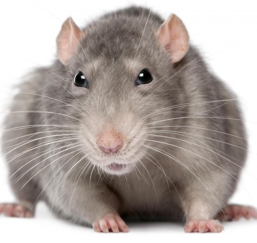 An outbreak disease like Black Death or bubonic plague can be spread by rats and other pests.