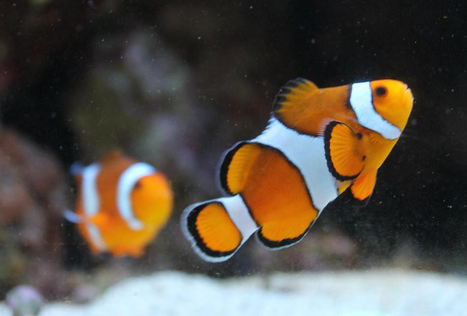 The clownfish is immune to sea anemone poison and feeds on the crumbs of its host anemone's meals.