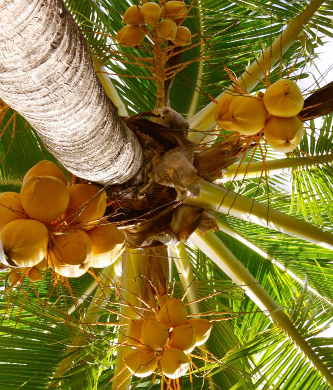 Coconut oil comes from the fruit of the tropical coconut tree.