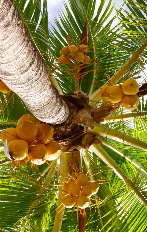 Palm trees may contain coconuts.