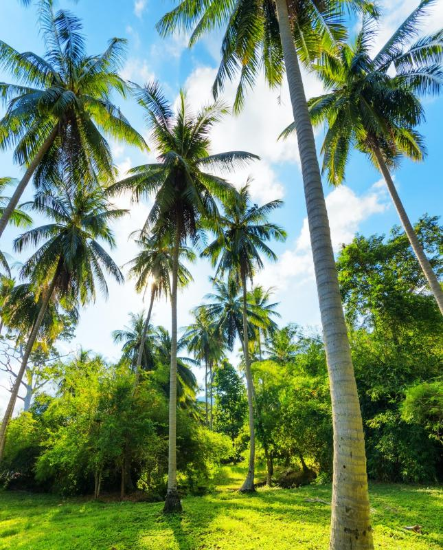 A coconut palm tree produces coconuts.