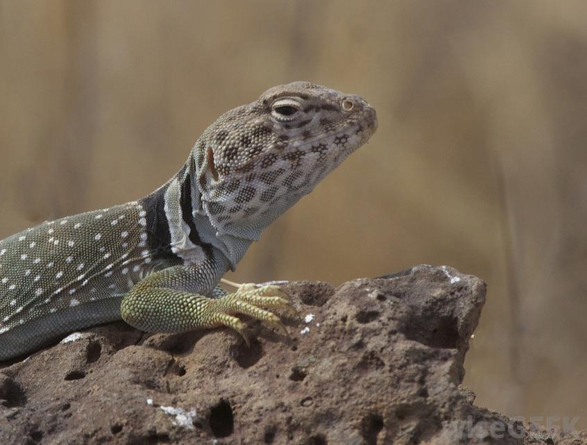 Collared lizards are so named for the distinctive stripes that wrap around their necks.