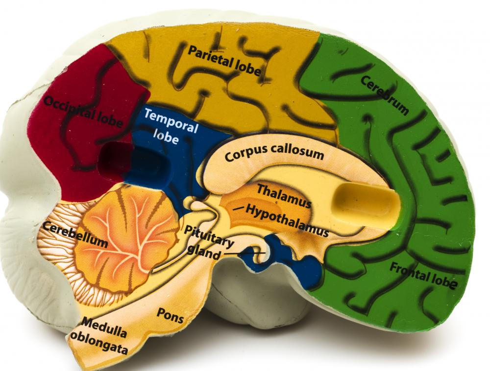 The brain areas are subdivided into the frontal, occipital, parietal, and temporal lobes.