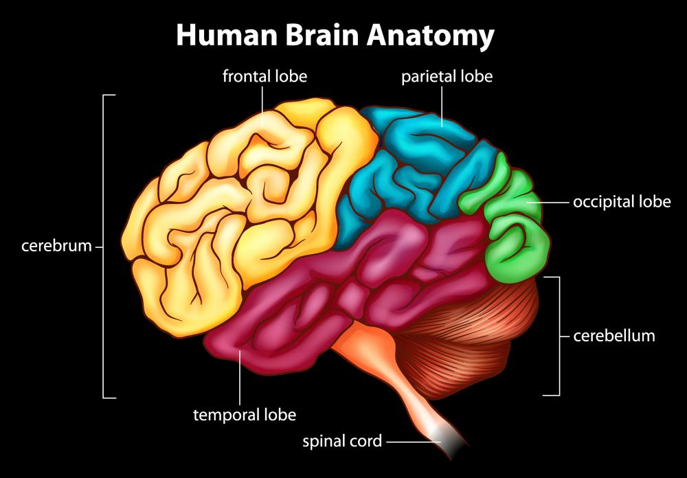 "The pyramidal tract begins in the ""motor strip,"" an area in the cerebral cortex, which is the outermost layered structure of neural tissue of the brain."