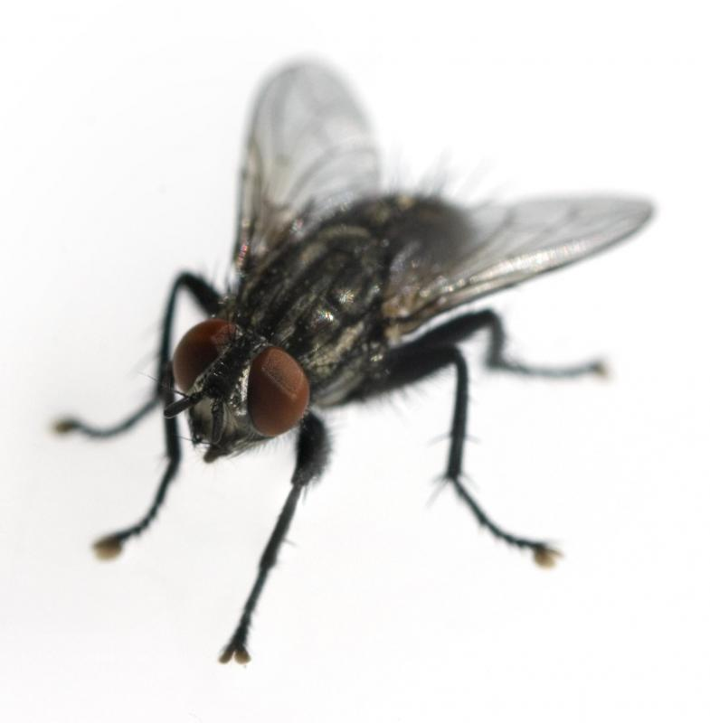 Vitex negundo can be used to repel house flies.