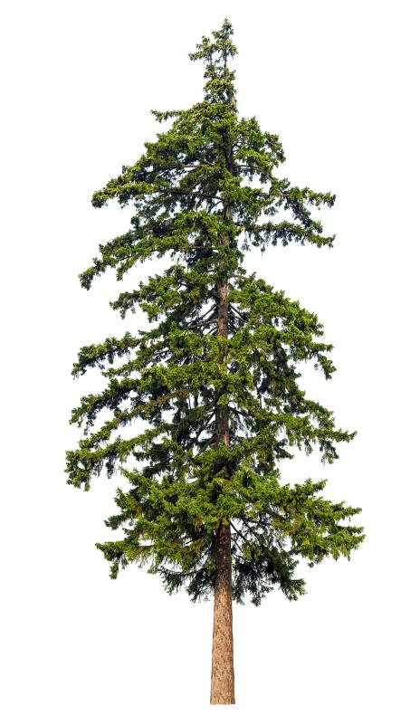 Trees may need to be trimmed when they grow too tall or wide.